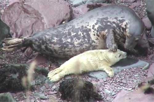 Seal pup with mother